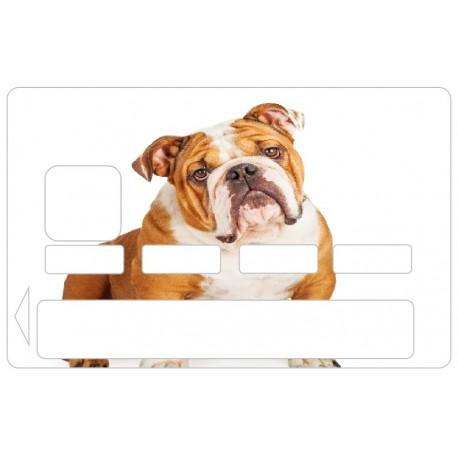 CB Bulldog chien